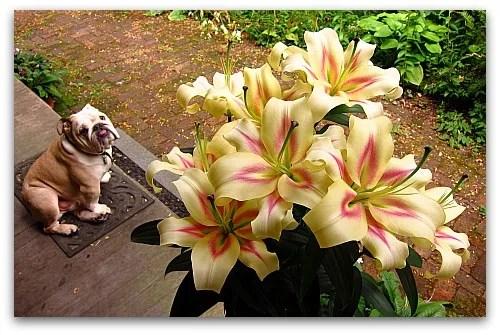 beautiful bombini Oriental Lilies