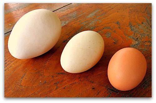 goose egg duck egg chicken egg