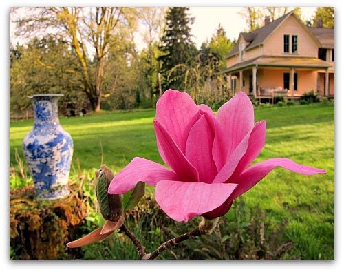 magenta red magnolia blossom country scene