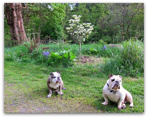 English Bulldogs Boz and Gracie before the Dogwood Tree