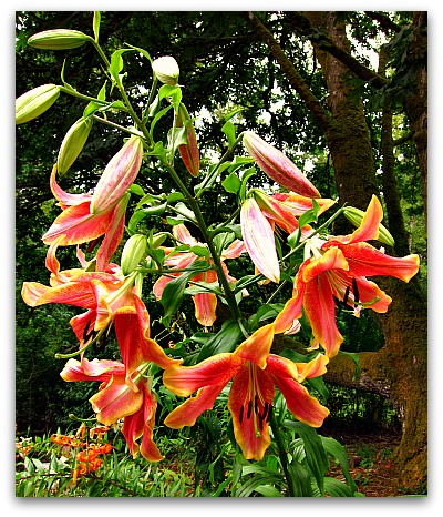 Orienpet lilies fragrant showstoppers