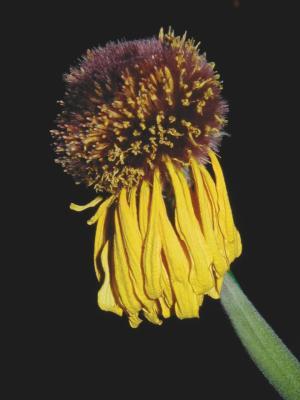 Eine verblühte Blume