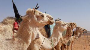 Camels Tamajaq resources