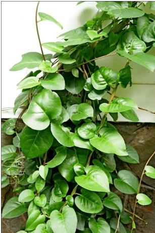Binahong - Anredera Cordifolia - Tanaman Obat Taman Husada