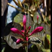 Daun wungu - Graptophyllum pictum Griff. - tanaman obat taman husada