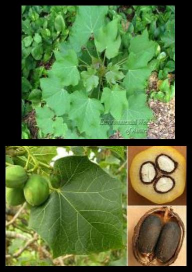 Jarak pagar - Jatropha curcas L. - tanaman obat taman husada