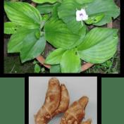 Kencur - Kaempferia galanga L. tanaman obat taman husada