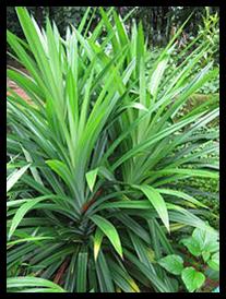 Pandan Wangi - Pandanus amaryllifolius Roxb.