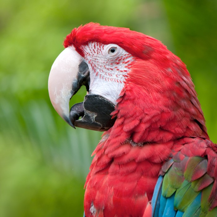 Groenvleugelara red-and-green macaw