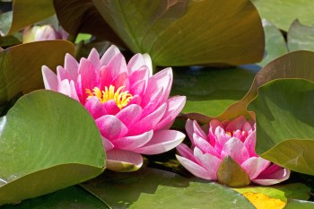 lotus-flowers-with-leaves_z17C-vt_