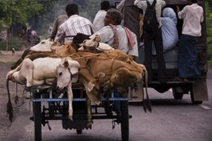 illegal_cow_trafficking