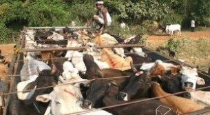 illegal-cow-transport