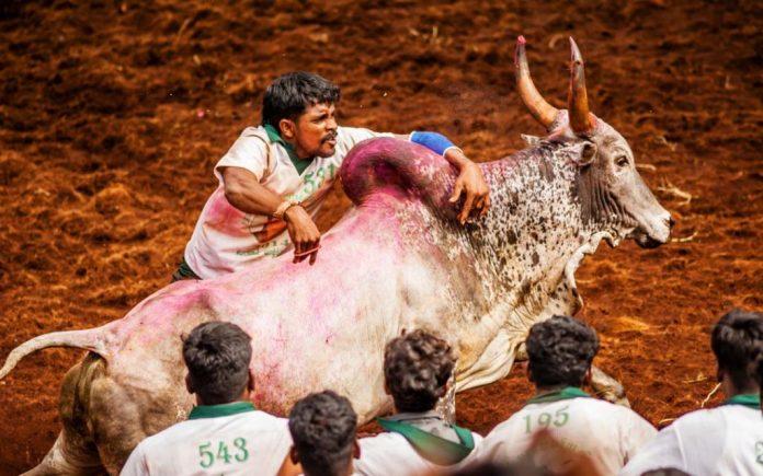 Best Places To Witness The 2020 Jallikattu In Tamil Nadu – Tamilnadu Tourism