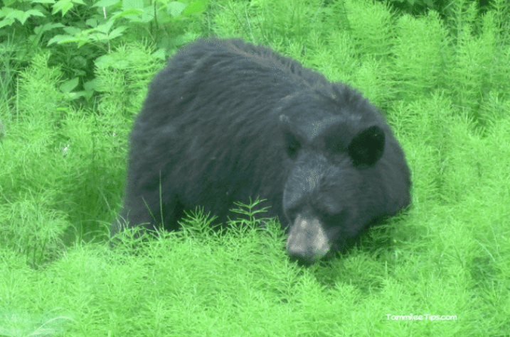 Golden-Princess-Juneau-Black-Bear.png