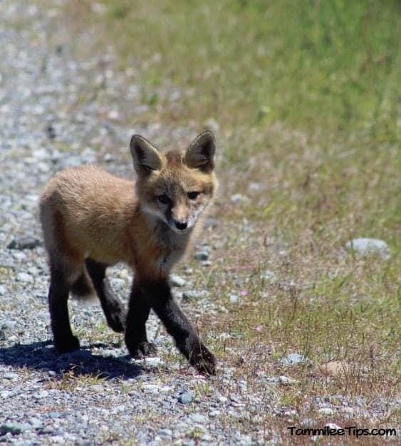 San Juan Island Foxes 3