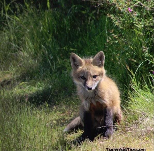 San Juan Island Foxes 5