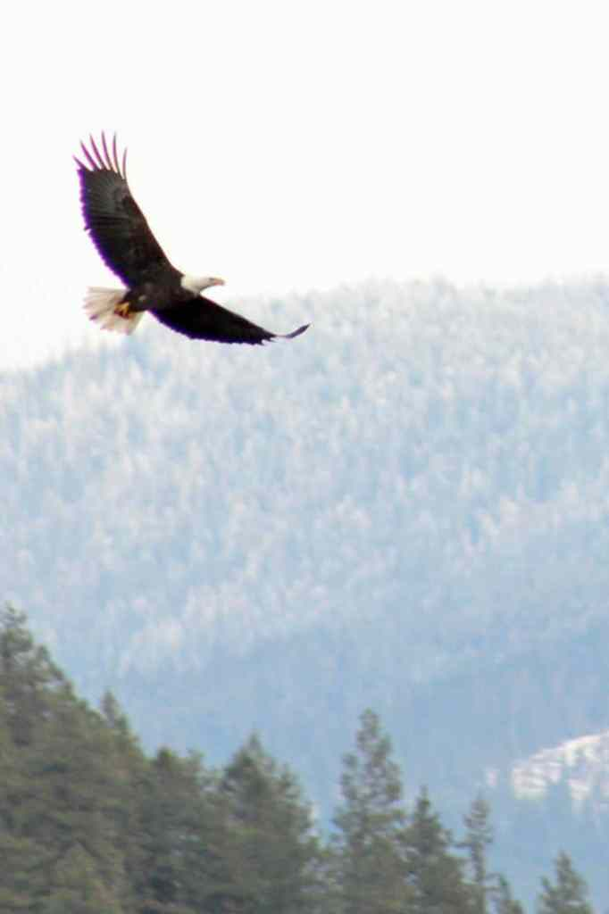 Lake Coeur d'Alene Bald Eagle Watching