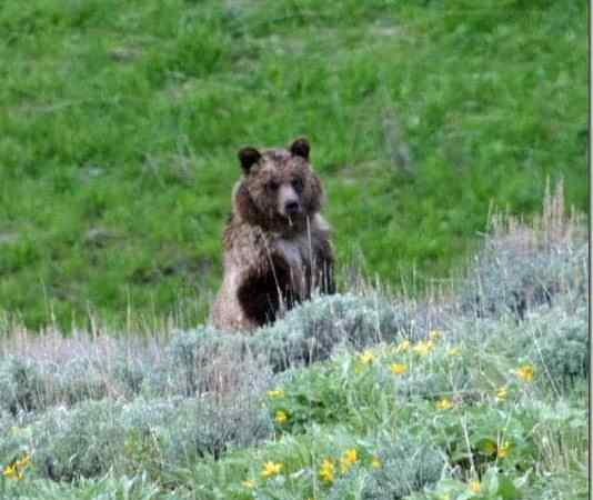 Yellowstone the worlds first National Park! Geysers, waterfalls and wildlife capture your imagination