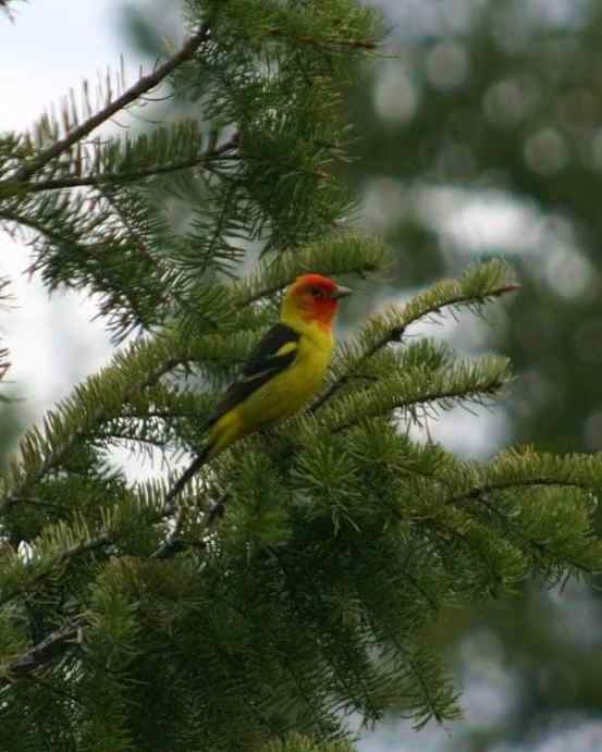 Western-Tanager-pic.jpg