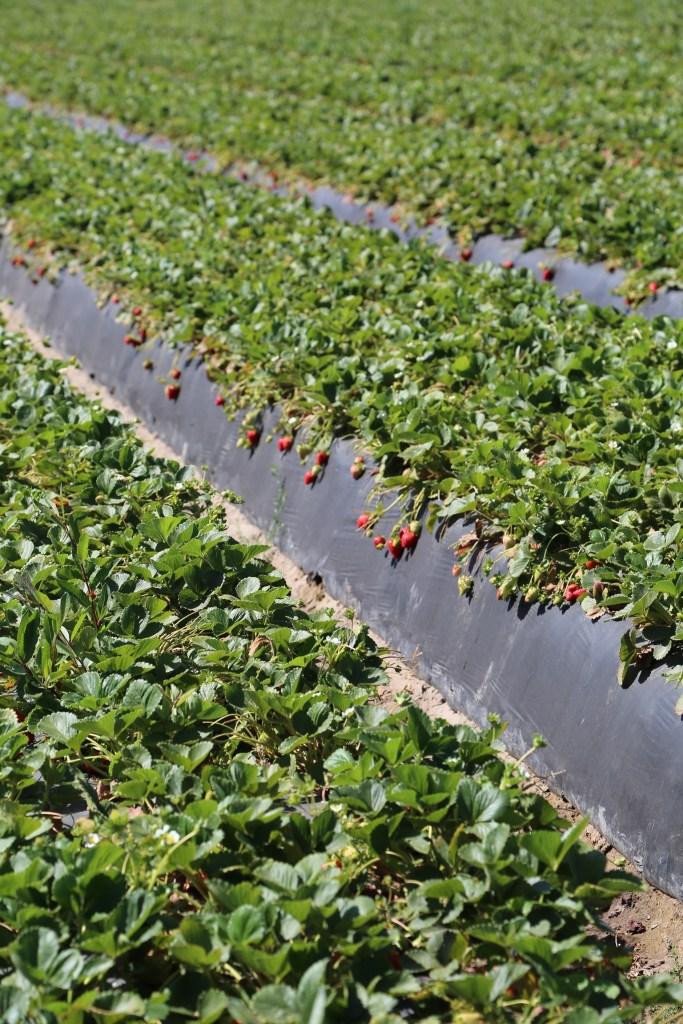 strawberries growing in the field