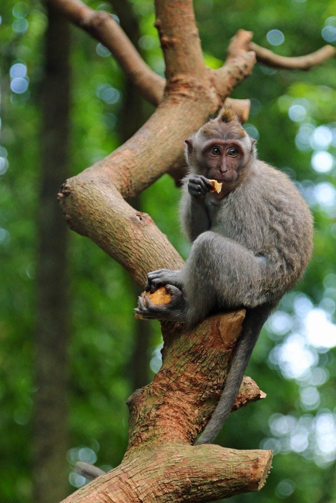 Monkey in tree at Ubud Monkey Frest