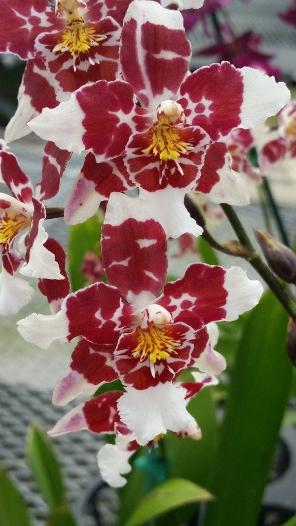 Orchids Hawaii
