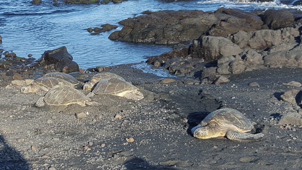 turtles on black sand beach