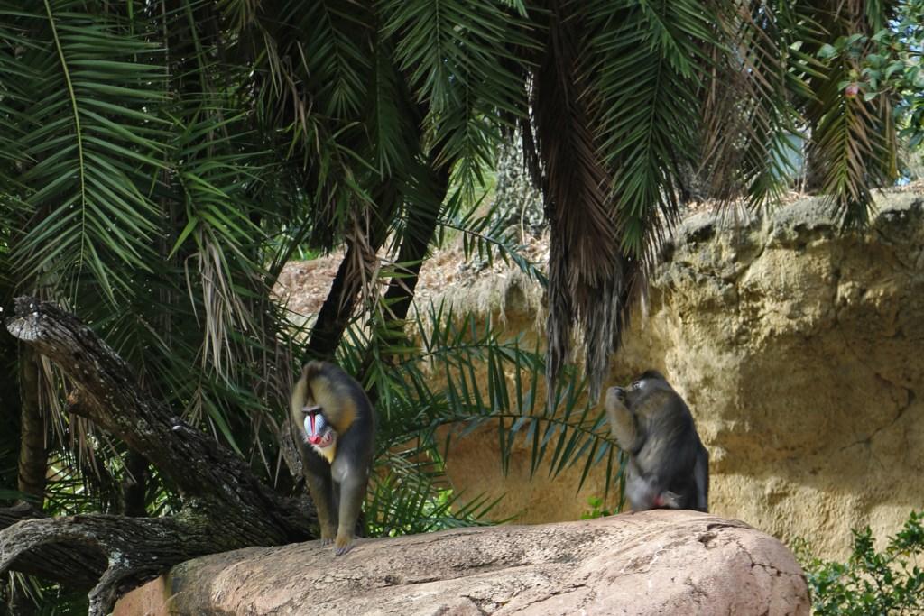 Monkey at Disney Animal Kingdom