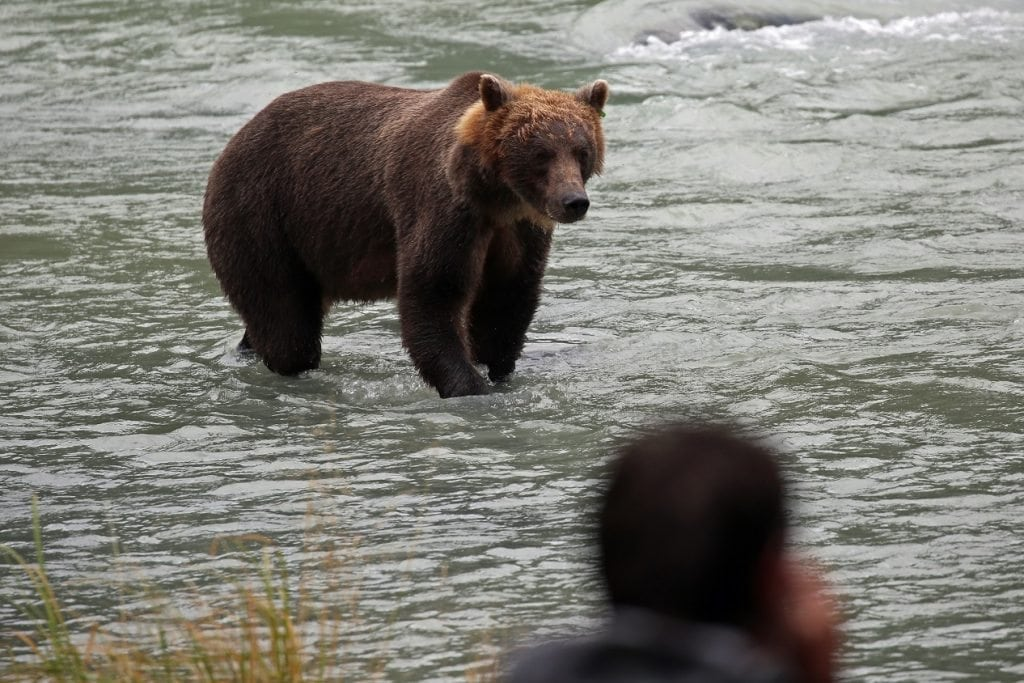 Bear dinner in Haines Alaska