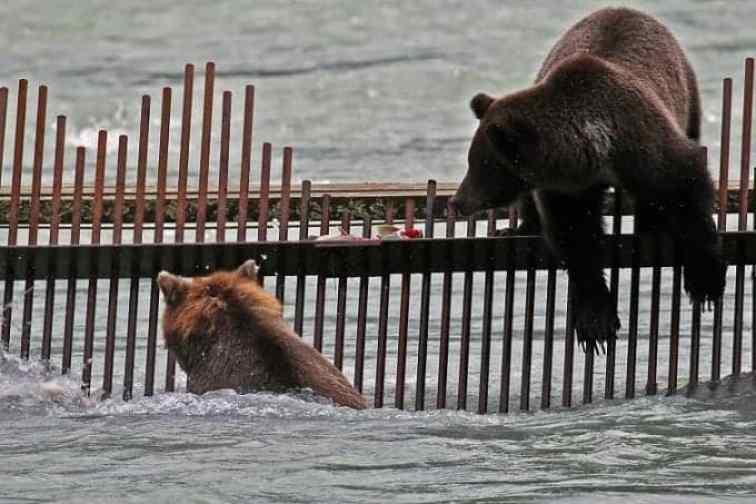 Bears fishing on Weir in Haines Alaska