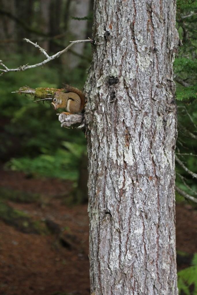 squirrel in tree Haines Alaska