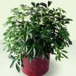 Schefflera Arboricola from Tammys Floral