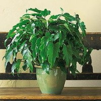 Xanadu Philodendron from Tammys Floral