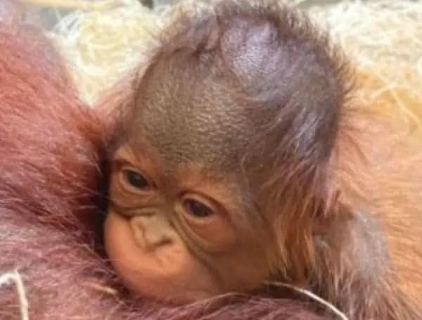 Rare Bornean Orangutan Born at ZooTampa