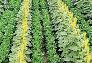 تعدد المحاصيل