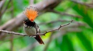 Rufous-crested-Coquette-(34)-6055