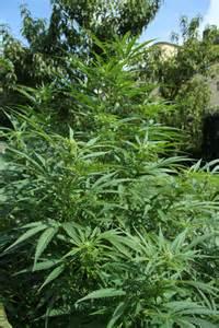 tanahoy.com cannabis sativa