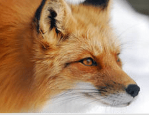 tanahoy.com fox