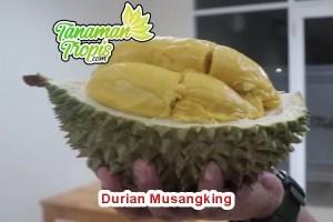 jual bibit durian musangking unggul