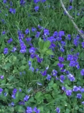 violets_closeup
