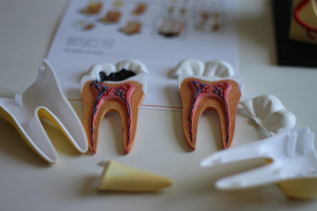 Anatomisk tandmodell