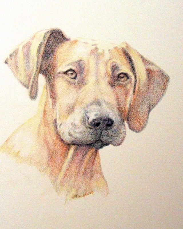 a drawing of a reddish brown rhodesian ridgeback in colored pencil with yellow highlights