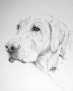 pencil sketch of Labrador retriever