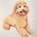 portrait of golden miniature poodle in pastel