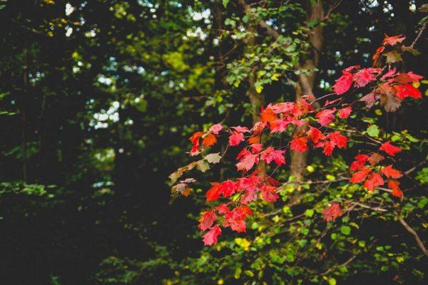 Fotografieren im Herbst - rote Blätter