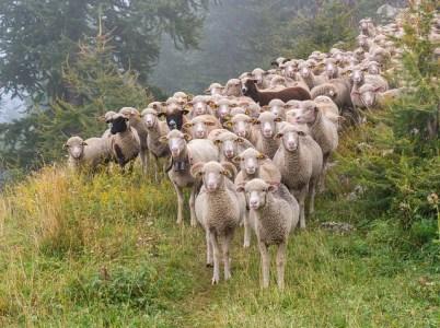 I pastori che pascono se stessi