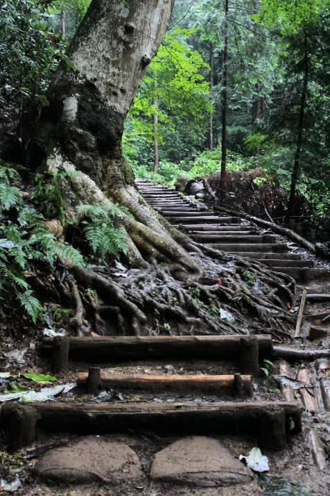 Un des nombreux pièges-racines qui ornent cet itinéraire