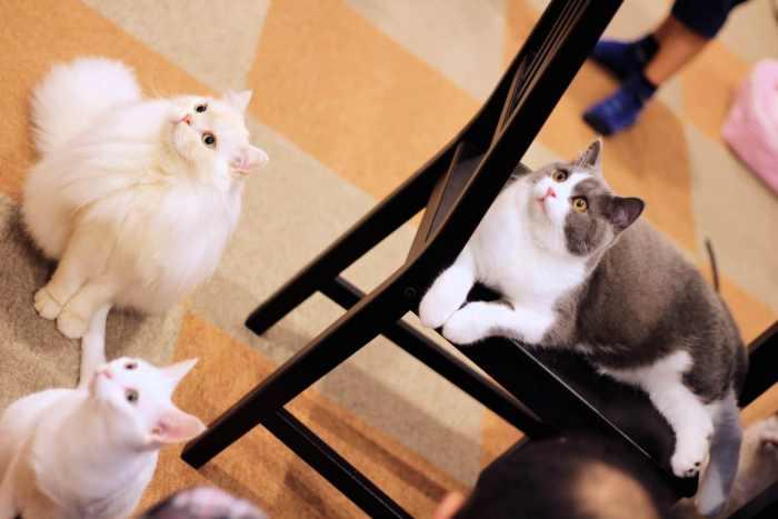 cat-cafe-nyankoto-11