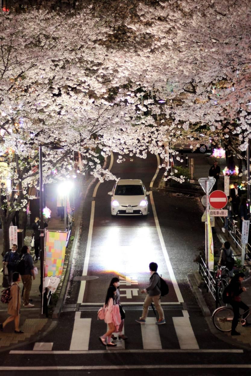 Naka Meguro Sakura Festival!
