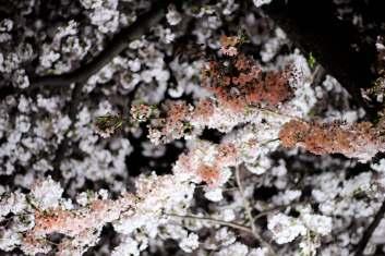 Naka Meguro Sakura (4)